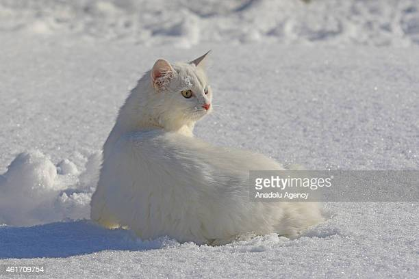 Van cat which is under protection at Van Cat Research and Rehabilitation Center walks on snow in Van Turkey on January 18 2015 Van cat is a...