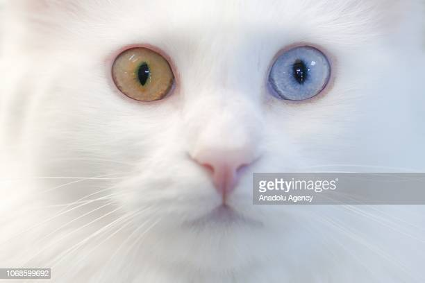 Van cat with two different eye color is seen at Van Cat Research Center of Yuzuncuyil University in Van Turkey on December 5 2018 in Van Turkey Van...