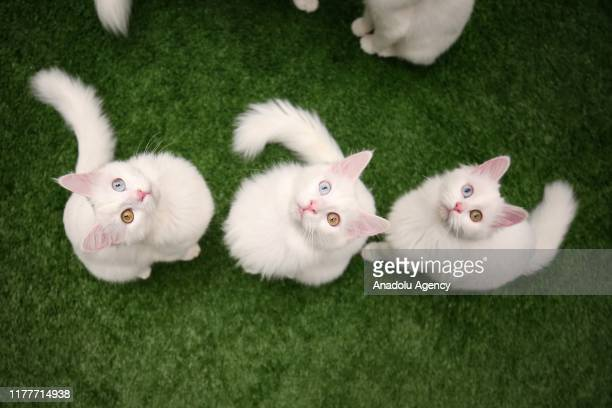 Van cats, with different eye colors, are seen at Van Yuzuncu Yil University's Van Cat Research and Application Center, in Van province of Turkey on...