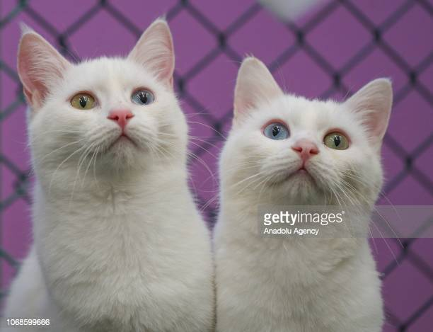 555936ca75 Van cats with two different eye color are seen at Van Cat Research Center  of Yuzuncuyil