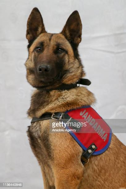 "Van gendarmerie command's cadaver dog ""Deyzi"" is seen, in Van, Turkey on April 10, 2019. Van gendarmerie command's detection dogs known as ""super..."