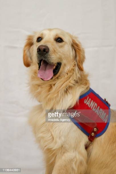 Van gendarmerie command's search and rescue dog Pati is seen in Van Turkey on April 10 2019 Van gendarmerie command's detection dogs known as super...