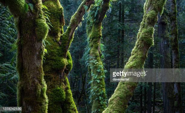 vancouver island old growth forest - vancouver island stock pictures, royalty-free photos & images