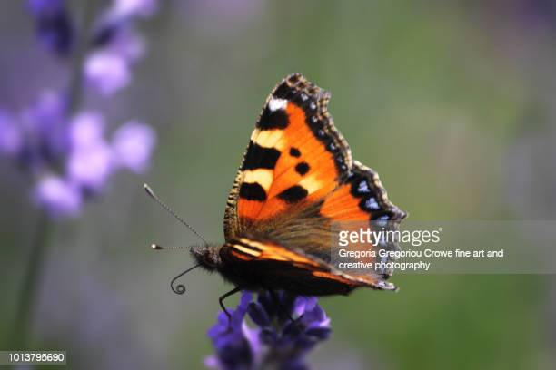 vanessa cardui butterfly - gregoria gregoriou crowe fine art and creative photography stock photos and pictures