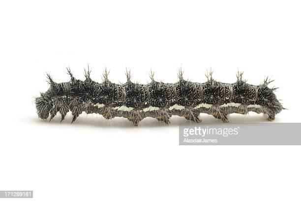 vanessa cardui caterpillar - caterpillar stock pictures, royalty-free photos & images