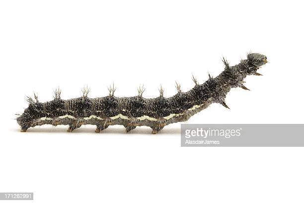 vanessa cardui caterpillar side view - caterpillar stock pictures, royalty-free photos & images