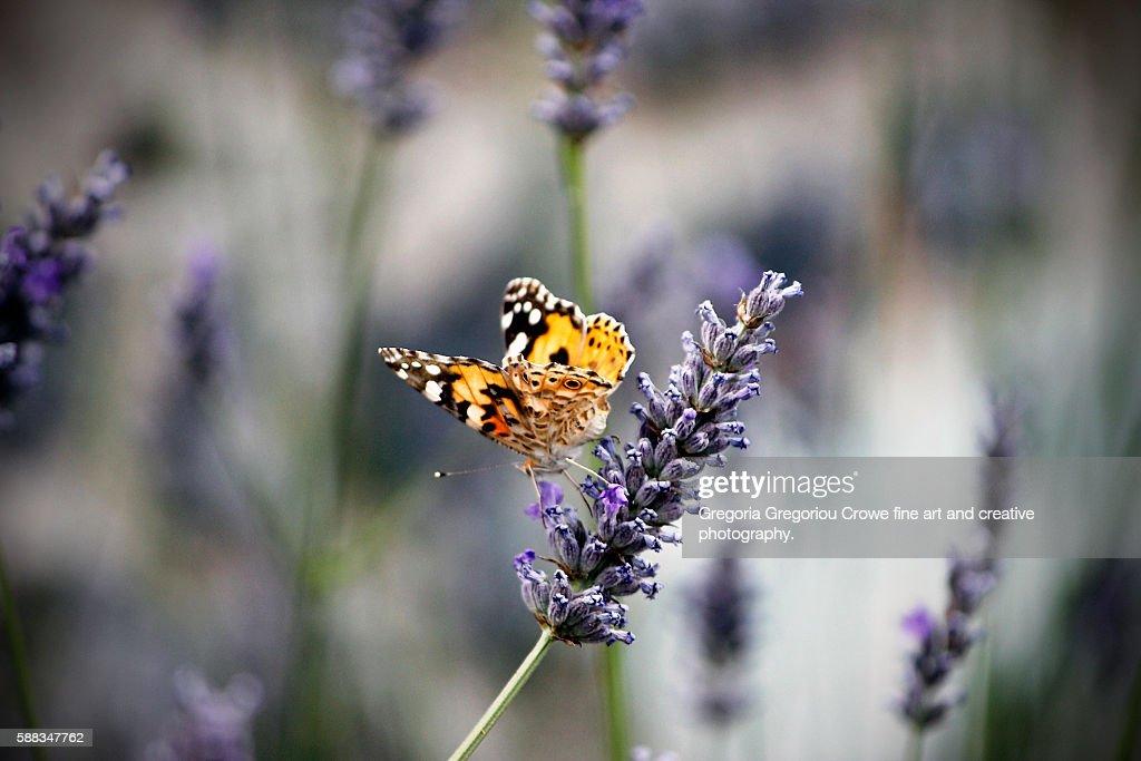 Vanessa Cardui On Lavender : Stock Photo