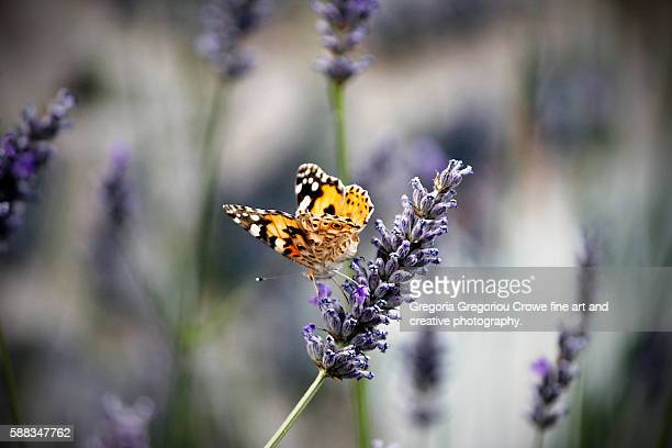 vanessa cardui on lavender - gregoria gregoriou crowe fine art and creative photography. stock pictures, royalty-free photos & images