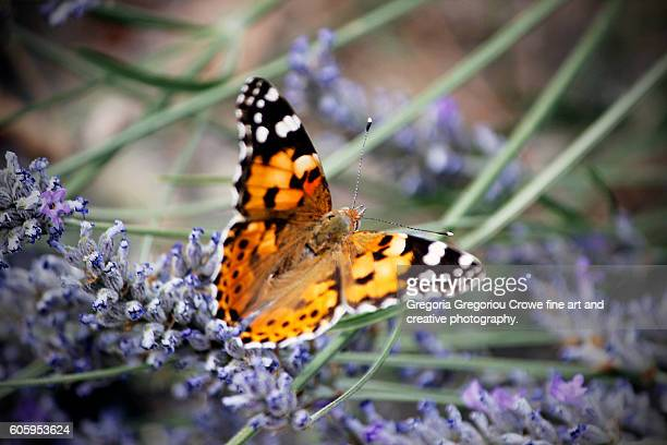 vanessa cardui - painted lady - gregoria gregoriou crowe fine art and creative photography. stock pictures, royalty-free photos & images