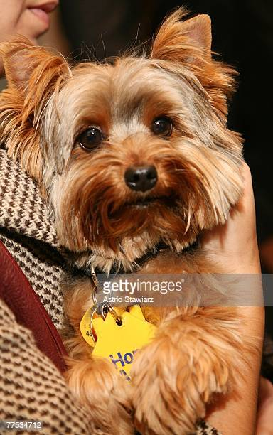 Vanessa Williams' yorkshire terrier Enzo poses for photos at the Home Again 'Bring Pets Home' campaign held at the Animal Haven in October 27 2007 in...
