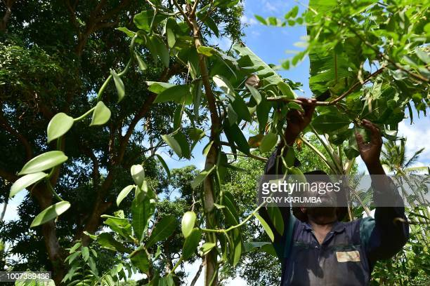 Vanilla farmer Ibrahim Boucar tends on July 29 2018 to the vines at one of the farms that supply organic vanilla for export by Vaniacom Sarl which...