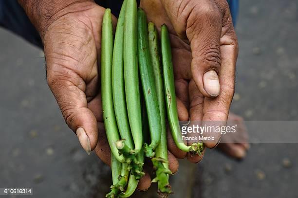 Vanilla green fruits ( Madagascar)