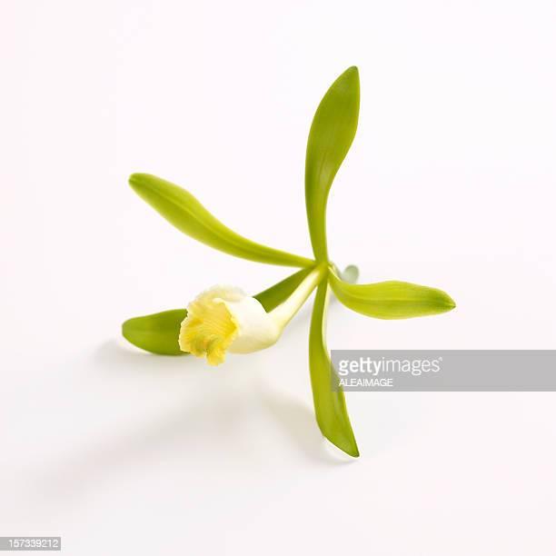 Vanilla orchid flower