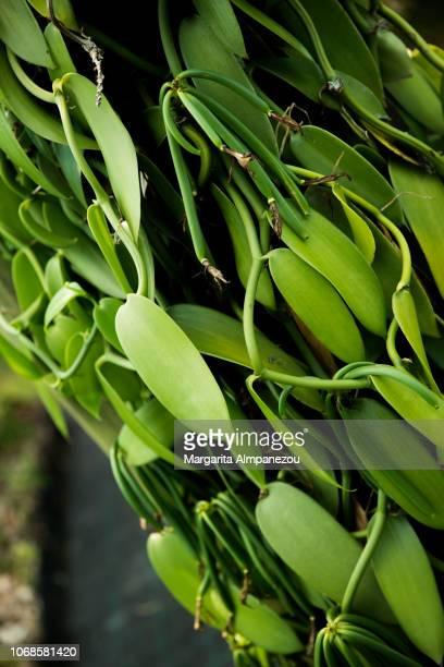 Vanilla plant in Reunion Island