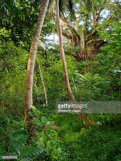 Vanuatu forest vegetable garden on Tanna Island