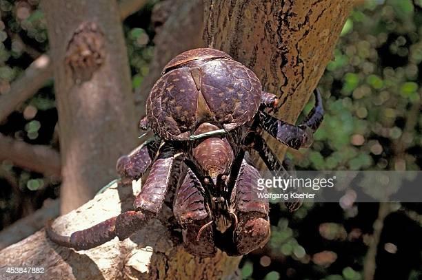 Vanuatu Torres Islands Loh Island Coconut Crab Tied To Tree