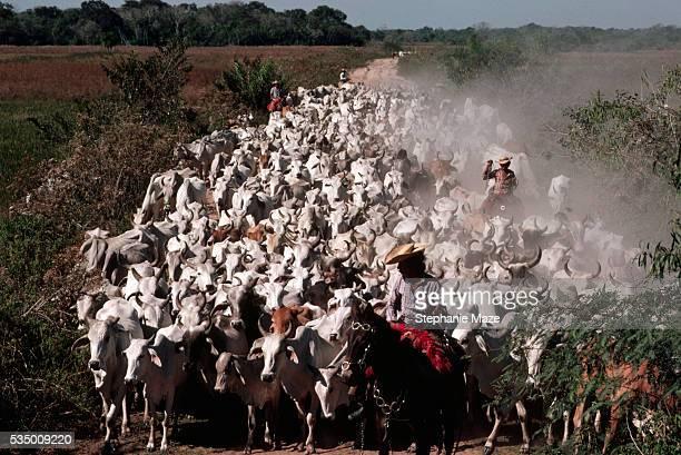 Vaqueiros Herding Cattle
