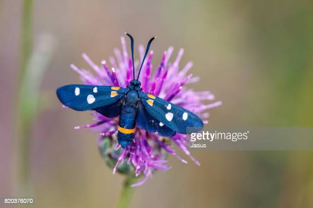 variable burnet moth - moth stock pictures, royalty-free photos & images