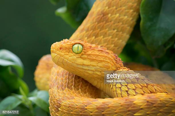 Variable Bush Viper - Orange Phase in Rainforest