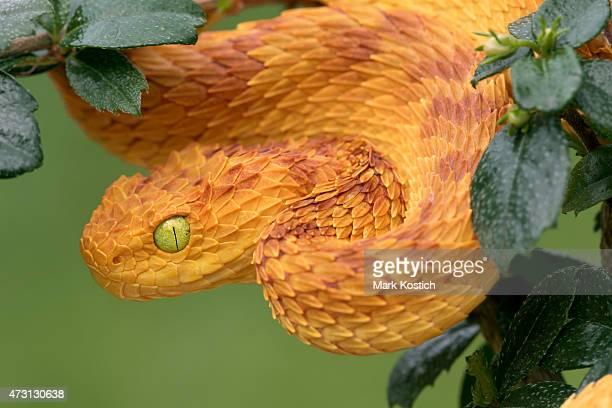 Variable Bush Viper Snake Hunting in Rainforest - Venomous Snake