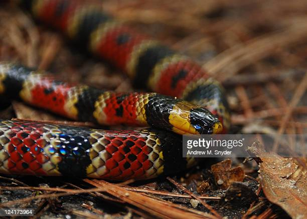 variable coral snake - coral snake stock pictures, royalty-free photos & images