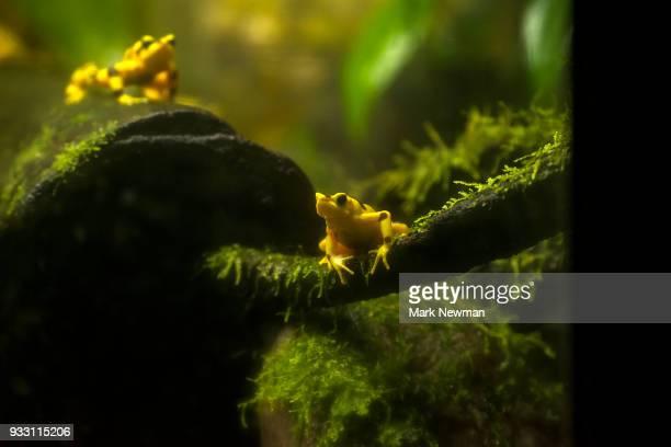 variable harlequin frog - arlequim - fotografias e filmes do acervo