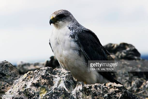 Variable hawk , Accipitridae, north-east coast of Pebble Island, Falkland or Malvinas Islands .