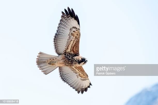 variable hawk - hawk stock photos and pictures