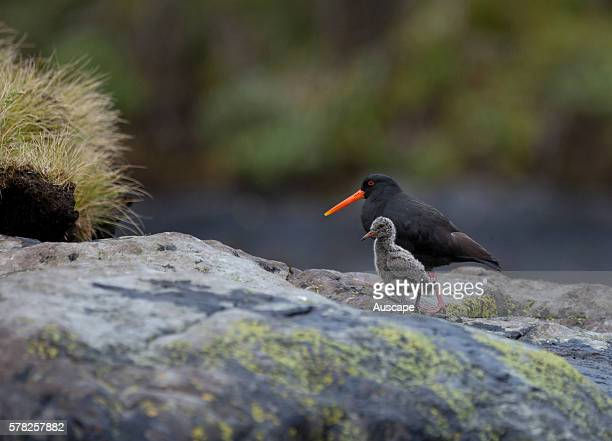 Variable oystercatcher Haematopus unicolor with chick Parents share care of the young Doubtful Sound Fiordland National Park South Island New Zealand