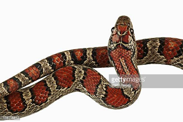 variable/mexican king snake (lampropeltis mexicana). dist. mexico and southern usa. - kingsnake stock photos and pictures