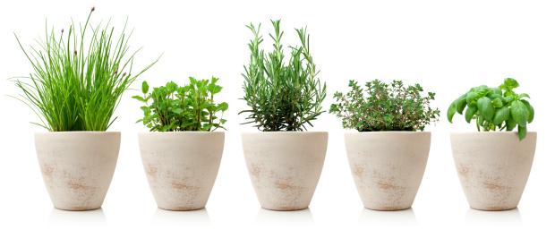 variaty of cooking herbs in pots 451543435