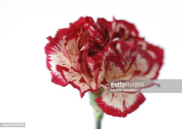 Variegated carnation, close-up