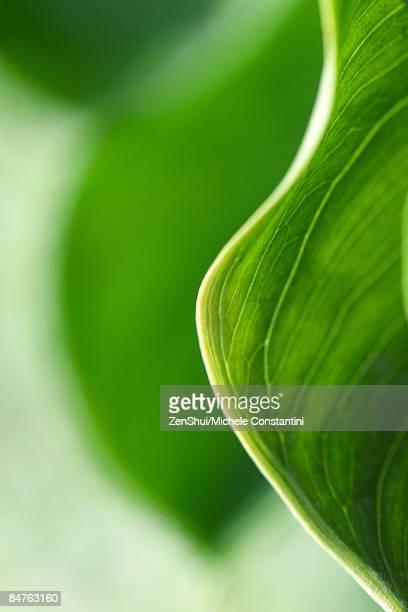 Variegated leaf, extreme close-up