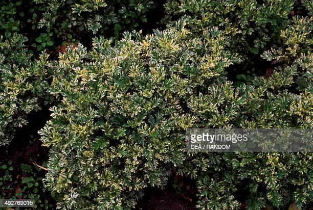 Variegated mugwort Asteraceae
