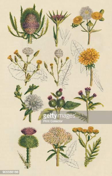 Varieties of British wildflowers 1947 'Teasel Salsify Sow Thistle Varieties of Wild Lettuce Dandelion Chicory Burdock Saw Wort Cotton Thistle Hemp...