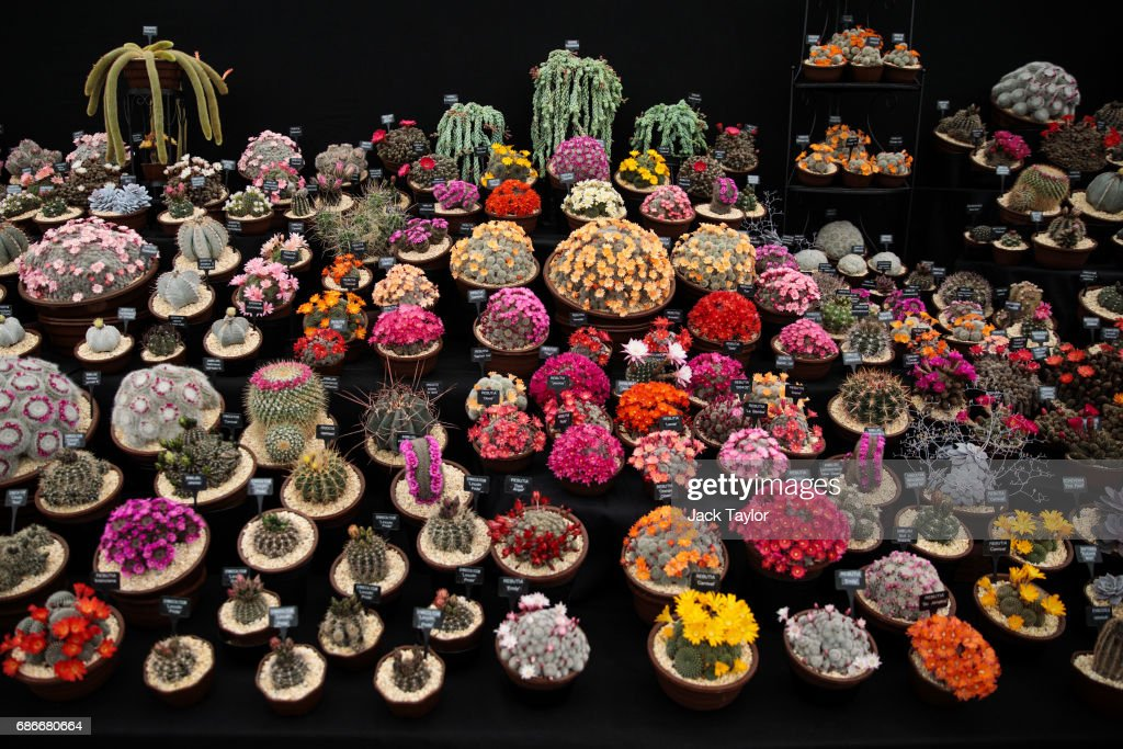 Varieties of cacti on display at the Chelsea Flower Show on May 22, 2017 in London, England. The prestigious Chelsea Flower Show, held annually since 1913 in the Royal Hospital Chelsea grounds, is open to the public from the 23rd to the 27th of May, 2017.