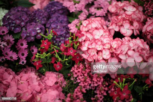 Varieties of flowers on display at the Chelsea Flower Show on May 22 2017 in London England The prestigious Chelsea Flower Show held annually since...