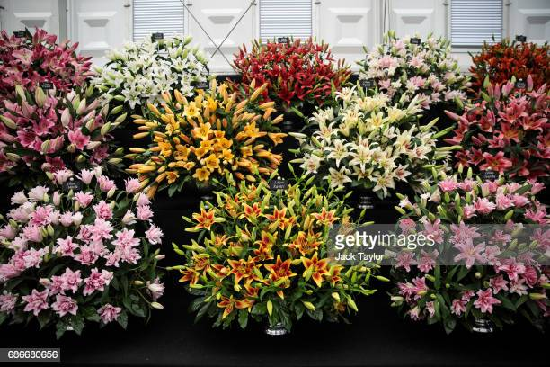 Varieties of lilies on display at the Chelsea Flower Show on May 22 2017 in London England The prestigious Chelsea Flower Show held annually since...