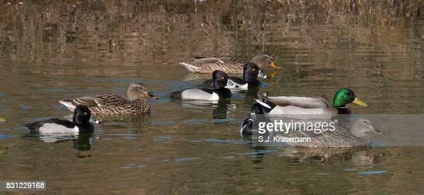 variety, flock of ducks swimming on pond. - anatra uccello acquatico foto e immagini stock
