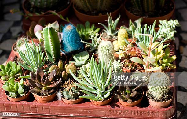 variety of cacti for sale - lyn holly coorg stock photos and pictures