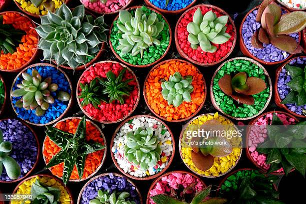 Variety  of cactus in pot with colorful stones