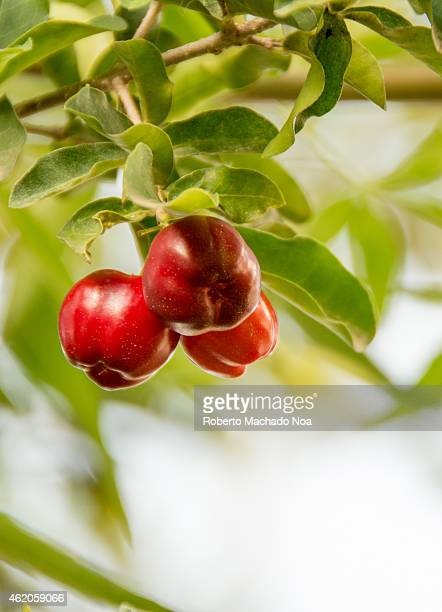 Variety of cherry grown in Cuba the fruit grown in tropical climate it is very sour and used mainly for making desserts