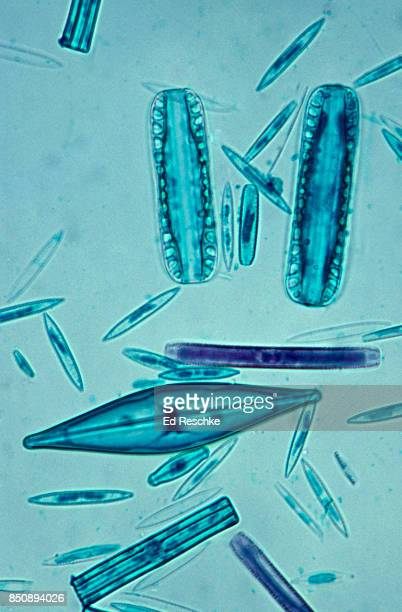A Variety of Diatoms--a major component of Plankton, 100X