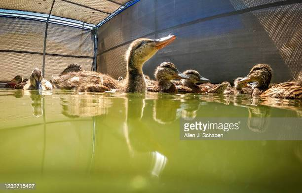 May 04: A variety of ducks including the nearly 900 baby ducklings swim and eat lettuce after a tsunami of orphans came in, according to Debbie...