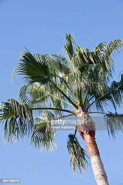 A variety of fan palm on a beach in the town of Nerja on the southern coast of Spain taken on June 13 2013