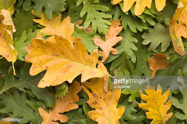 A variety of green and yellow oak leaves