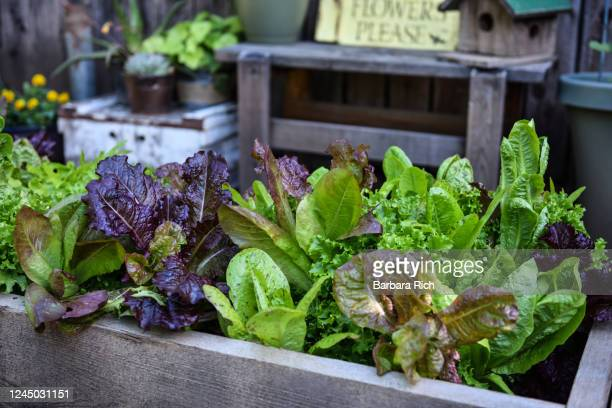 variety of lettuce ready for harvest in raised garden bed. - spinach stock pictures, royalty-free photos & images