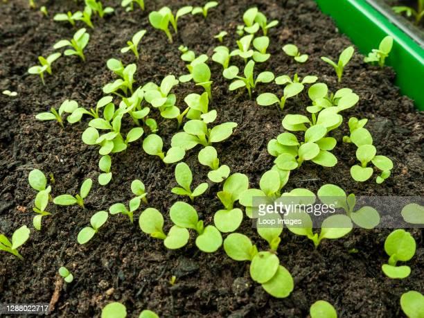 Variety of lettuce seedlings germinating in compost.