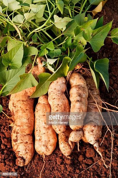 Variety of Malawian sweet potatoes freshly dug.