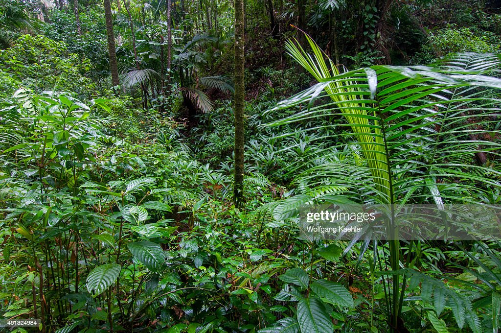 A Variety Of Plants Are Covering The Rainforest Floor At The Tobago  Rainforest Preserve On The